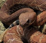 "View post ""TECC Talk: Rattlesnakes of California"""